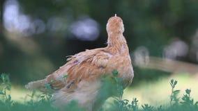 Νέο cockerel μαδά την πράσινη χλόη απόθεμα βίντεο