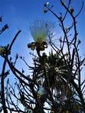 Να αναρωτηθεί στις οδούς της Αβάνας - ανθίζοντας άσπρα λουλούδια δέντρων σπάνια στοκ φωτογραφία με δικαίωμα ελεύθερης χρήσης