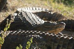 Νείλος cocodrile στοκ εικόνες