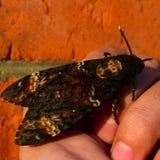 Νεκρό κεφάλι Η μεγάλη πεταλούδα που ανήκει στην οικογένεια του brazhnik στοκ εικόνα με δικαίωμα ελεύθερης χρήσης