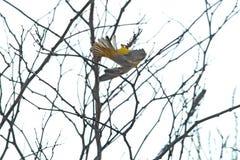 Νότιος καλυμμένος υφαντής σε ένα δέντρο στοκ εικόνα