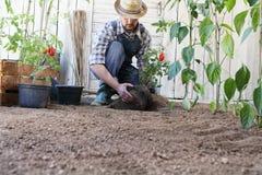 Ντομάτες εγκαταστάσεων ατόμων έξω από τα δοχεία στο χώμα του φυτικού κήπου, εργασίες για να αυξηθεί και να παραγάγει περισσότεροι στοκ εικόνες με δικαίωμα ελεύθερης χρήσης