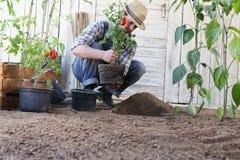 Ντομάτες εγκαταστάσεων ατόμων έξω από τα δοχεία στο χώμα του φυτικού κήπου, εργασίες για να αυξηθεί και να παραγάγει περισσότεροι στοκ εικόνες