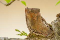 Ξηρός το τεμάχιο κλάδων δέντρων μηλιάς στοκ εικόνα με δικαίωμα ελεύθερης χρήσης