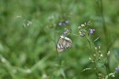 Οι άσπρες πεταλούδες απορροφούν τη ζωηρόχρωμη ουσία λουλουδιών στον κήπο το πρωί στοκ φωτογραφίες