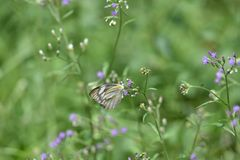 Οι άσπρες πεταλούδες απορροφούν τη ζωηρόχρωμη ουσία λουλουδιών στον κήπο το πρωί στοκ εικόνες