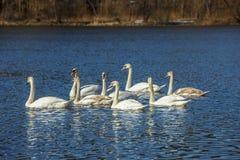 Οι άσπροι κύκνοι κολυμπούν στη λίμνη στοκ εικόνες