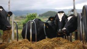 Οι αγελάδες τρώνε το σανό στενό σε έναν επάνω τομέων απόθεμα βίντεο