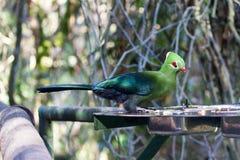 Οι βεραμάν και μπλε τρώγοντες μπανανών πουλιών livingstonii turaco ή Tauraco του Livingstone κάθονται στον τροφοδότη στο πράσινο  στοκ εικόνες με δικαίωμα ελεύθερης χρήσης