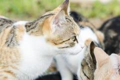 Οι γάτες τρώνε τα τρόφιμα γατών Μεγάλη γάτα και μικρό γατάκι που τρώνε τα κομμάτια του κρέατος από το πιάτο Βλέπουμε τη ρόδινη γλ στοκ φωτογραφία