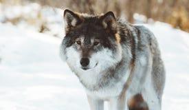 Οι λύκοι του Βορρά στοκ φωτογραφία με δικαίωμα ελεύθερης χρήσης