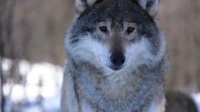 Οι λύκοι του Βορρά απόθεμα βίντεο