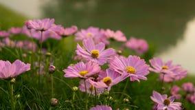 Οι τομείς των όμορφων ρόδινων πετάλων των λουλουδιών κόσμου ανθίζουν στα πράσινα φύλλα και το μικρό οφθαλμό κοντά σε μια λίμνη σε στοκ φωτογραφία με δικαίωμα ελεύθερης χρήσης