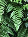 Οι φτέρες Beautyful αφήνουν στο πράσινο φύλλωμα το φυσικό floral υπόβαθρο φτερών στοκ εικόνα