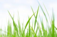 Οι πράσινοι φυλλώδεις βλαστοί του δενδρυλλίου των τομέων ρυζιού στοκ φωτογραφίες με δικαίωμα ελεύθερης χρήσης
