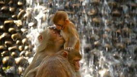 Ομάδα του ρήσου μακάκου macaques στους βράχους Οικογένεια των γούνινων όμορφων macaques που συλλέγει στους βράχους στη φύση και τ απόθεμα βίντεο