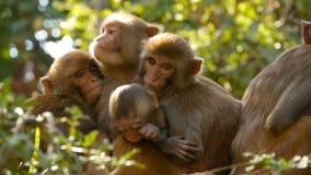 Ομάδα του ρήσου μακάκου macaques στους βράχους Οικογένεια των γούνινων όμορφων macaques που συλλέγει στους βράχους στη φύση και τ φιλμ μικρού μήκους