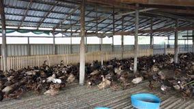 Ομάδα παπιών στο αγρόκτημα, παραδοσιακή καλλιέργεια στην Ταϊλάνδη, 4K υπερβολικό HD απόθεμα βίντεο