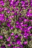 Ομάδα πορφυρών λουλουδιών στοκ εικόνες