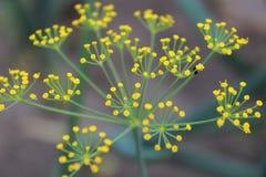 Ομπρέλα άνηθου floral φυσικός ανασκόπησης στοκ φωτογραφία