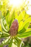 οφθαλμός protea στο δέντρο με το φως του ήλιου υποβάθρου στοκ φωτογραφίες με δικαίωμα ελεύθερης χρήσης