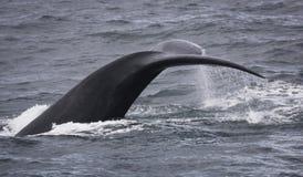 Ουρά με τις πτώσεις του νερού μιας νότιας σωστής φάλαινας που κολυμπά κοντά στο Hermanus, δυτικό ακρωτήριο διάσημα βουνά kanonkop στοκ εικόνες