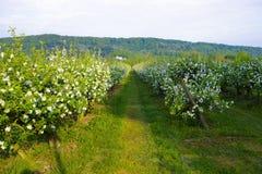 Οπωρώνες δέντρων της Apple στη Νορμανδία, άνθος άνοιξη των δέντρων μηλιάς, παραγωγή του διάσημου μηλίτη της Νορμανδίας, Γαλλία στοκ φωτογραφίες