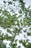 Ο αειθαλής θάμνος το χειμώνα καλύπτεται στο χιόνι στο κρύο καιρό στοκ εικόνα
