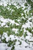 Ο αειθαλής θάμνος το χειμώνα καλύπτεται στο χιόνι στο κρύο καιρό στοκ φωτογραφίες