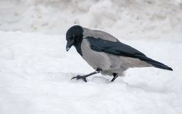 Ο γκρίζος με κουκούλα κόρακας κάθεται στο σκληρό χιόνι το χειμώνα στοκ εικόνες