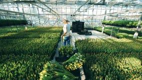 Ο κηπουρός κινεί ένα κάρρο με τις τουλίπες σε ένα μεγάλο θερμοκήπιο, βιομηχανία λουλουδιών απόθεμα βίντεο