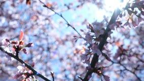 Ο κλάδος Sakura ανθίζει ταλαντεύσεις στον αέρα ενάντια στο σκηνικό του φωτός του ήλιου, μετακίνηση καμερών απόθεμα βίντεο