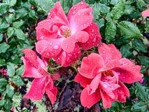 Ο κόκκινος κτύπος τρία αυξήθηκε έξω άνθη με τη δροσιά στοκ φωτογραφίες