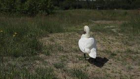 Ο λευκός Κύκνος που περπατά στην πράσινη χλόη απόθεμα βίντεο
