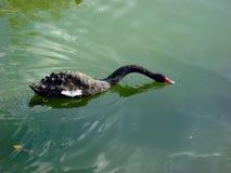 Ο μαύρος Κύκνος που επιπλέει στη λίμνη πόλεων στοκ φωτογραφία