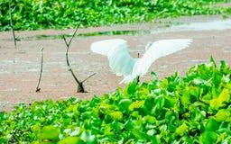 Ο όμορφο λευκό Κύκνος ή ένα πουλί αστερισμού του Κύκνου που χτυπά τα φτερά του στον τομέα λιμνών με τις επιπλέουσες υδρόβιες εγκα στοκ εικόνες