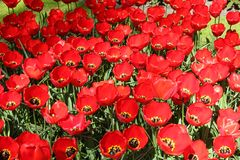 Ο τομέας των κόκκινων όμορφων τουλιπών κλείνει επάνω Χρόνος άνοιξη στον κήπο λουλουδιών Keukenhof, Κάτω Χώρες στοκ φωτογραφία