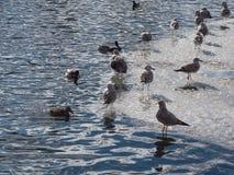 Ο πληθυσμός των κορμοράνων στο μπλε νερό στοκ φωτογραφίες με δικαίωμα ελεύθερης χρήσης