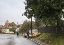Ο ποιμένας βόσκει τα πρόβατα στην περιφέρεια του πίτουρου στη Ρουμανία στοκ φωτογραφία