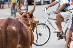 Ο προϊστάμενος ενός βοδιού που εξετάζει η οδός το κέντρο Toliara, Μαδαγασκάρη στοκ εικόνα