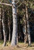 Δάσος πεύκων με τη σκιά στοκ εικόνα