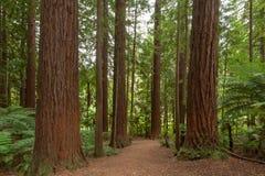 Δάσος Redwoods Rotorua στοκ φωτογραφία με δικαίωμα ελεύθερης χρήσης