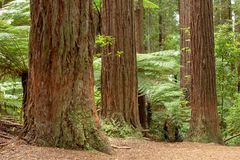 Δάσος Redwoods Rotorua στοκ εικόνες με δικαίωμα ελεύθερης χρήσης