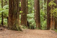Δάσος Redwoods Rotorua στοκ εικόνες