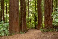 Δάσος Redwoods Rotorua στοκ εικόνα