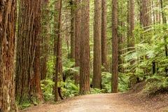 Δάσος Redwoods Rotorua στοκ φωτογραφίες