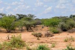 Δέντρα ακακιών ενάντια σε ένα ξηρό τοπίο στοκ εικόνες