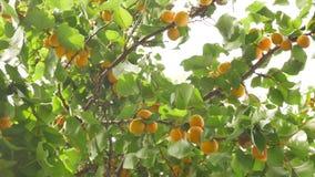 Δέντρο βερικοκιών το καλοκαίρι απόθεμα βίντεο
