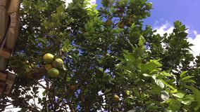 Δέντρο με τα πορτοκάλια, πορτοκάλια στο δέντρο φιλμ μικρού μήκους