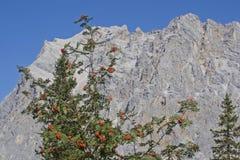 Δέντρο του Rowan μπροστά από τον ορεινό όγκο Zugspitze στοκ φωτογραφία με δικαίωμα ελεύθερης χρήσης